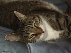 Bastian almost asleep (Finn Frode (DK)) Tags: cats sleep rest sofa bastian mixedbreed domesticshorthair olympus e400 animal pet cat indoor