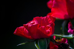 #flowers #roses #lightroom #nighttime #canon #eos #flikr #instagram #twitter #contrast #red (jessicalewis10) Tags: red contrast eos roses twitter instagram nighttime flikr canon flowers lightroom