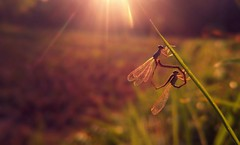 macro mobile macrographer damselflies love smartphone... (Photo: Mobile Macrographer on Flickr)