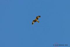 Red Kite 1DX12748.jpg (alanmcbride1) Tags: bird rocdeconhillac france aude occitanie gruissan languedoc birds