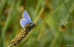 Common blue - Argus bleu . (Herbé) Tags: argusbleu commonblue azurécommun polyommatusicarus butterfly papillon