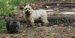 Sedum & Jeter - 9/24/16 (myvreni) Tags: vermont autumn fall animals dogs cairnterriers pets