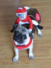 Boo The Jockey Pug (DaPuglet) Tags: pug jockey pugs dog dogs puppy puppies animal animals pet pets horse pony costume halloween rider