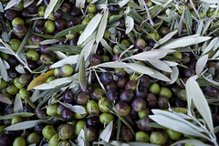 olives for oil (tcd123usa) Tags: italyparislondon2016 leicadlux4 oliveoil oilproducingolives umbria italy fresholives