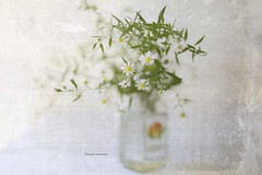 Jars (raewillow) Tags: whitewoodaster wild flower growing here there jar