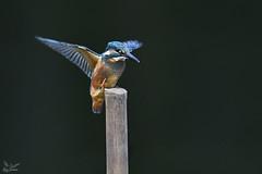 Common Kingfisher (nomane172) Tags: commonkingfisher kingfisher bird animal outdoor wildlife nature wildlifephotography naturephotography birdsofbangladesh dhaka bangladesh nikon nikond500 d500 tamron tamron150600mm 150600mm ngc