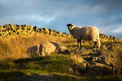 Sheep on the Hilltop (aveyardphotography) Tags: sheep animals wool hill hilltop rocks mountain lake district cumbria grass evening sunlight sunset nature stone dry wall farm farming rural north west england october autumn warm glow