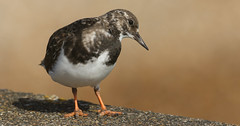 Turnstone (Arenaria interpres). (Sandra Standbridge.) Tags: turnstone bird wader outdoor wildandfree animal nature coast seaside sand arenariainterpres