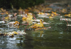 Water Bombs (NVOXVII) Tags: autumn rain raindrop splash downpour pavement motion leaves colours wet cinemtatic arty nature nikon moody water weather october dof depthoffield