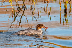 Goosander (f) with Fish (mergus merganser) (phat5toe) Tags: goosander fish birds avian wildlife nature wigan penningtonflash greenheart nikon d300 sigma150500