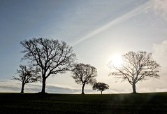 Five Trees (Hilary Causer) Tags: herefordshire leysters winter lowsun trees silhouette shape form nature walking november rural farmland bare