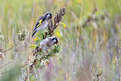 Distelvink-putter-Goldfinch (Carduelis carduelis) (Bram Reinders(on-off)) Tags: distelvink putter goldfinch cardueliscarduelis vink finch zangvogel singingbird bird vogel natuur nature wildlife distel thistle oosterhorn oosterhornkanaal farmsum curiosityisthesourceofallknowledge nieuwsgierigheidisdebronvanallekennis groningen holland nederland thenetherlands nikond600 tamronsp150600mmf563divcusd tamron tamron150600 150600 nikon bramreindersdelfzijl bramreinders bram reinders delfzijl wwwbramreindersnl