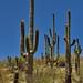 Many Arms of Saguaro Cactus (Portrait Orientation)