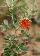 Southern Diplolaena (philipbouchard) Tags: diplolaenadampieri southerndiplolaena southernrose rutaceae flower wildflower shrub stamens red orange busselton beach westernaustralia australia