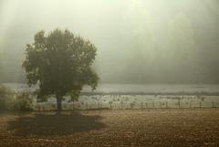 (martine_ferron) Tags: arbre matin brume