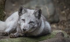 2016-10-17-0152 (BZD1) Tags: nature natura dog poolvos carnivore carnivora zooparcoverloon animal mammal canidae vulpes vulpeslagopus articfox fox