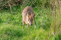 JWL5320  Muntjac.. (jefflack Wildlife&Nature) Tags: muntjacdeer muntjac deer deers animals animal herd mammal wildlife woodlands forest heathland moorland countryside fields nature