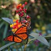 Butterfly and Flower (11 17 2016) (PhotoDocGVSU) Tags: neworleansla sonynex5t longuevuehouse colorful