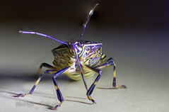 Stink bug (photo_tokyo) Tags: tokyo hachioji japan    stinkbug