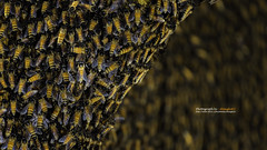 Close up view of the working bees (Alongkot.S) Tags: backgrounds bee beehive beekeeper beeswax busy cell eating food gold healthy hexagon honey honeycomb honeyed macro medicine nature pattern shape sweet wax wild yellow