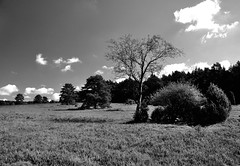Bume in der Heide (Lichtabfall) Tags: einfarbig landscape landschaft monochrome schwarzweiss tree baum buesenbachtal heide bsenbachtal wrme handelohwrme lneburgerheide