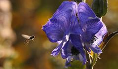 Not accepting Summer's End (Nephentes Phinena ) Tags: arboretumellerhoop nikond300s eisenhut schwebfliege hoverfly aconitum monkshood