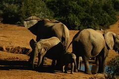 DSC03825 (Emily Hanley Photography) Tags: elephant elephants addo elephantpark nationalpark sa southafrica africa photography colour warthogs buffalo zebra waterhole rawimages raw nature naturalphotography animals animal
