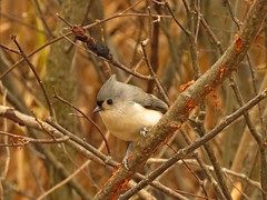 Tufted titmouse (Photos by the Swamper) Tags: birds titmouse tuftedtitmouse