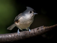 Tufted Titmouse, York County, PA (Blackrock23) Tags: titmouse tuftedtitmouse nikond500 nikon200500 pennsylvania