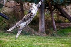 IMG_1808 (TvdMost) Tags: bwc britishwildlifecentre felissilvestris scottishwildcat wildcat wildekat