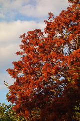 Russet Leaves (Dave Roberts3) Tags: wales gwent newport park bellevue autumn fall citrit