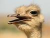 ¿qué pasa? (Sergio Pou Acuña) Tags: avestruz ave pajaro zoo ensenada