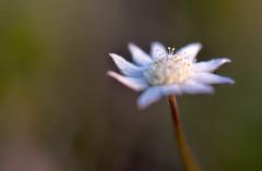 DSC_0733done (Arcus Cloud) Tags: centralcoast nsw munmorahstaterecreationarea australia vegetation plants flora plant native nature white macrophotography macroflowers closeup macro flowers flower