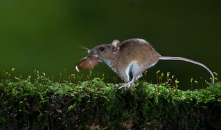 Wood mouse carrying a acorn.