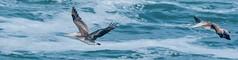 Brown Pelicans in flight (phoca2004) Tags: brownpelican california marincounty pelicanusoccidentalis pointreyes pointreyesnationalseashore tomalespoint tomalespointtrail inverness unitedstates us bird birds pelecanusoccidentalis