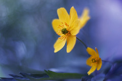 Anemone ranunculoides (ElenAndreeva) Tags: yellow flowers forest spring color macro flower blue sun light summer bokeh beautiful lovely colors 500px canon garden forrest soft dream colorful sweet focus amazing nature