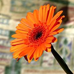 Gerbera (Cajaflez) Tags: bloem fleur blume gerbera orange oranje coth5