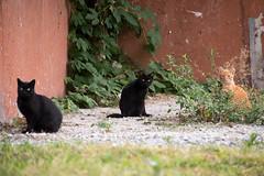 Trio (akk_rus) Tags: 70300mmf4556gvr nikkor70300mmf4556gifedafsvr nikkor 70300mm nikon d800 nikond800 bulgaria   europe  burgas  pet pets nature animals streetcats straycats cat cats chat chats animal feline gato