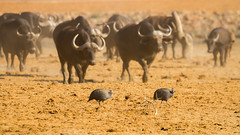 """Jaywalking""? (DrScottA) Tags: guineafowl africa madikwegamereserve buffalo dust southafrica safari nature birds"