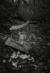 She Dreams of Canary Cries 1 (CSKalinsky) Tags: stilllife birdcage bird feather flight conceptual darkart