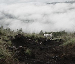 Dog on Trail (richardha101) Tags: bali indonesia travel wanderlust asia batur mountain hike hiking dogs outdoor