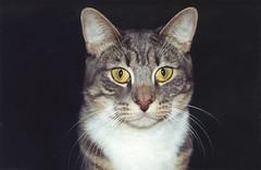 Ika (meg williams2009) Tags: catpet prettycat animal filmpicture catportrait seriouscat cats pets animals cutecats funnycats beautifulcats feline kittens kitten