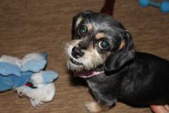 IMG_3277 (fschaub3) Tags: puppies puppy pets dogs yorkie shorkie pomchi