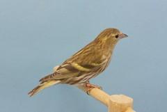 Lugana bruna (aviarioabellan) Tags: fauna europea mutada