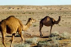Dromadaires - El Bayadh ابل - البيض (habib kaki) Tags: algérie algeria elbayadh الجزائر البيض ابل بريزينة جمال جمل chameau dromadaire brezina brizina
