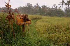DSC07403 (Peripatete) Tags: bali ubud petulu nature birds travel tourism
