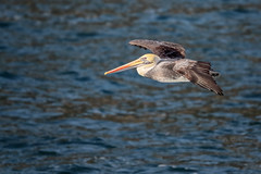 Peruvian Pelican (Pelecanus thagus) (Arturo Nahum) Tags: valparaisoregion zapallar chile peruvianpelican pelecanusthagus birdwatcher aves pájaros birds animales arturonahum 600
