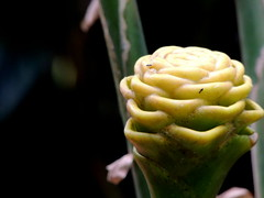 beehive (Grenzeloos1) Tags: beehive ginger flower budding