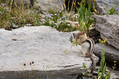 Chipmunk chewing on some flowers (GlobalGoebel) Tags: canonef24105mmf4lisusm canoneos5dmarkiii 24105mm chipmunk grand teton national park wyoming tetoncresttrail