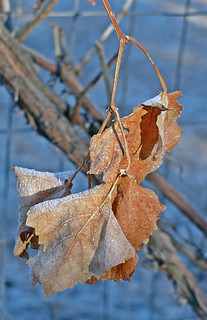 Frosty Grape Leaves  335/366